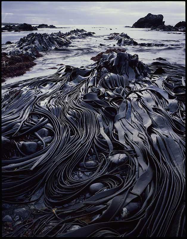 Giant kelp, Hasselborough Bay, Macquarie Island, Tasmania, 1984 Courtesy of National Library of Australia and Estate of Peter Dombrovskis